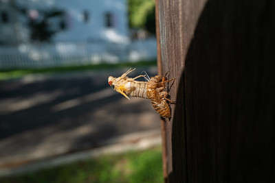 cicada emerges from its shell