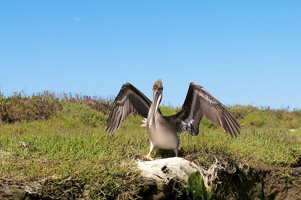 Pelicans - Elkhorn Slough