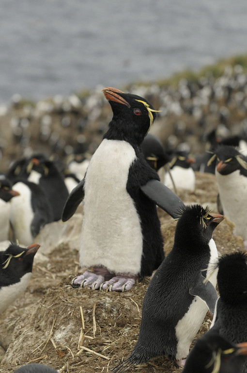 . A Rockhoppercam among a rockhopper colony in the Falkland Islands during the filming of �Penguins: Waddle All the Way,� which premiers Nov. 23 on Discovery. Jane Lynch narrates this two-hour special, a Discovery/BBC co-production from award-winning filmmaker John Downer. (Photo by Philip Dalton/JDP World All Media)