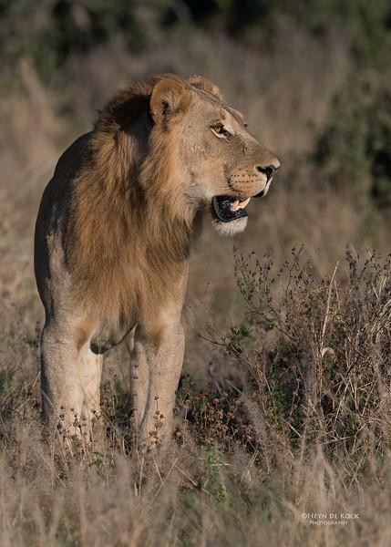 African Lion, Savuti, Chobe NP, Botswana, May 2017-9.jpg