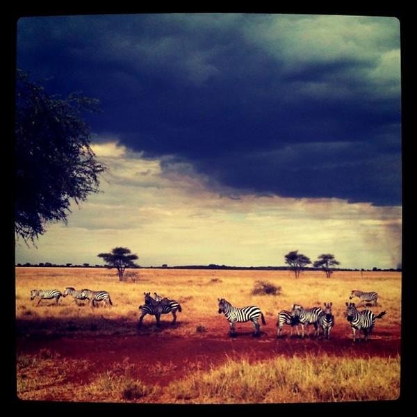 Zebras on Serengeti Plains - Tanzania