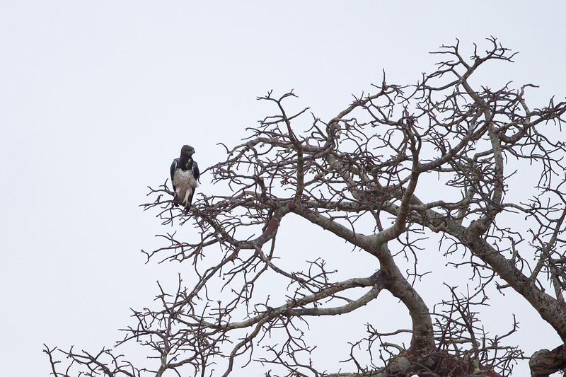 Martial Eagle - Record - Tarangire National Park, Tanzania