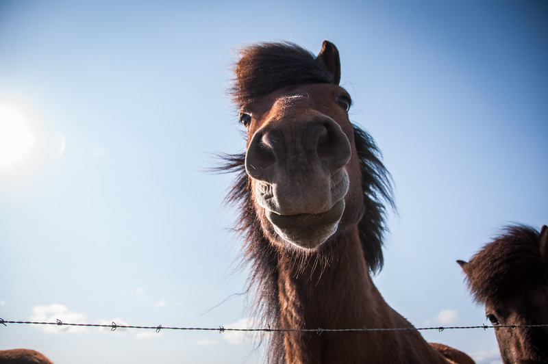2016.05.21 - Reykjavik, Iceland. Horses gathered along a fence line.