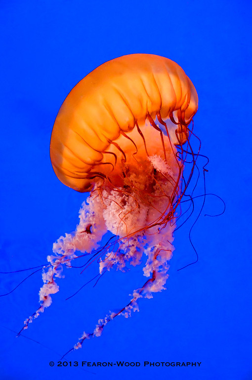 Pacific Sea Nettle (Chrysaora fuscescens)<br /> Shaw Ocean Discovery Centre, Sidney, BC.