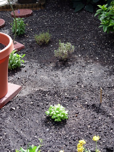 Sweet Basil, Rosemary, Thyme