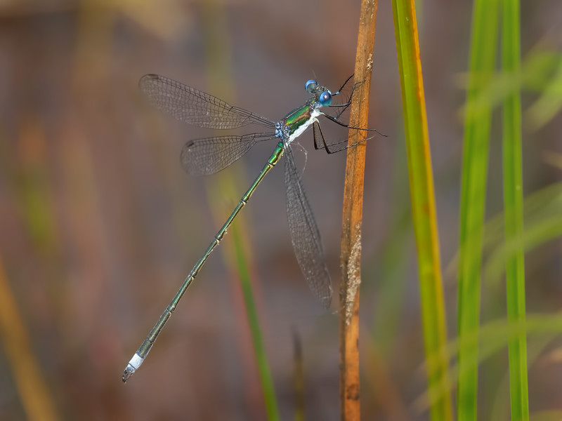 Swamp Spreadwing (Lestes vigilax), male