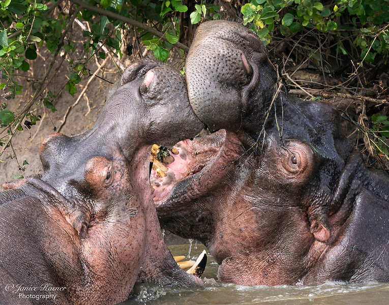 Sparring Hippos II