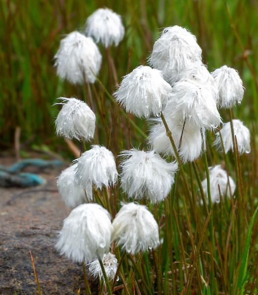 Cotton Grass grows in Greenland as well as in Iceland.