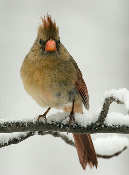 northern-cardinal-2_5086954804_o.jpg