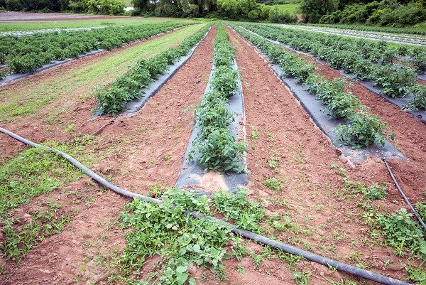 06/14/18 Wesley Bunnell | Staff Tomatoes are irrigated by a large diameter rubber hose which in turn feeds smaller soaker hoses that run under the plastic tarp at Cold Spring Brook Farm in Berlin. The plastic tarp helps to contain moisture and reduce weeds.