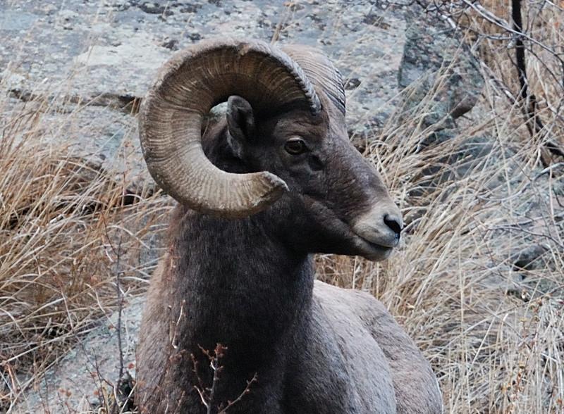 Bighorn Sheep 12062008 118.jpg