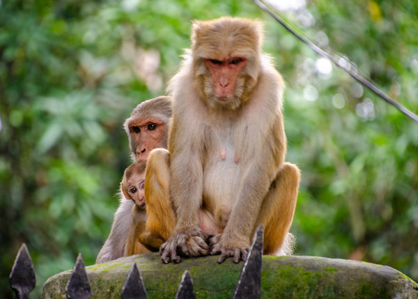 Monkeys in India