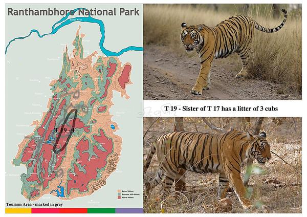 T 19 Ranthambhore tiger
