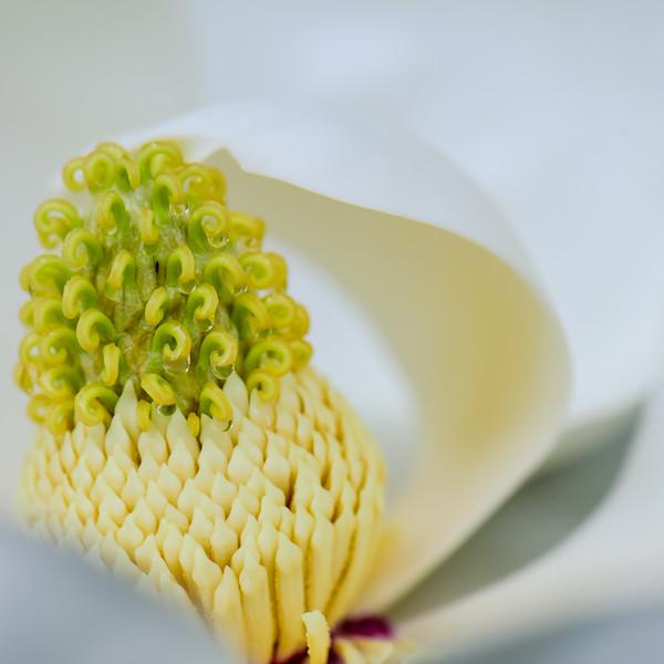 Magnolia 32