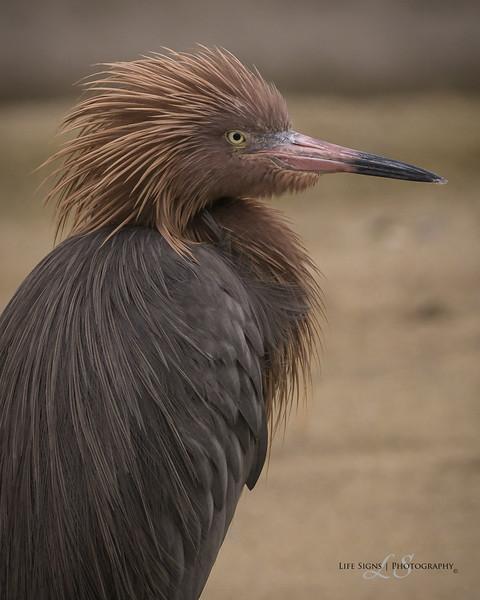 SPI-Redish-Egret---SA-Photo-1.jpg