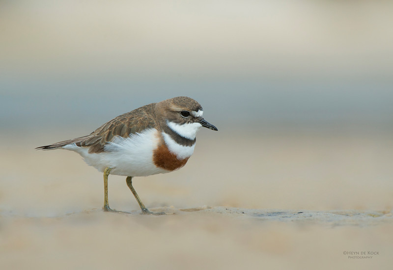 Double-banded Plover, Lake Conjola, NSW, Aug 2013-8.jpg