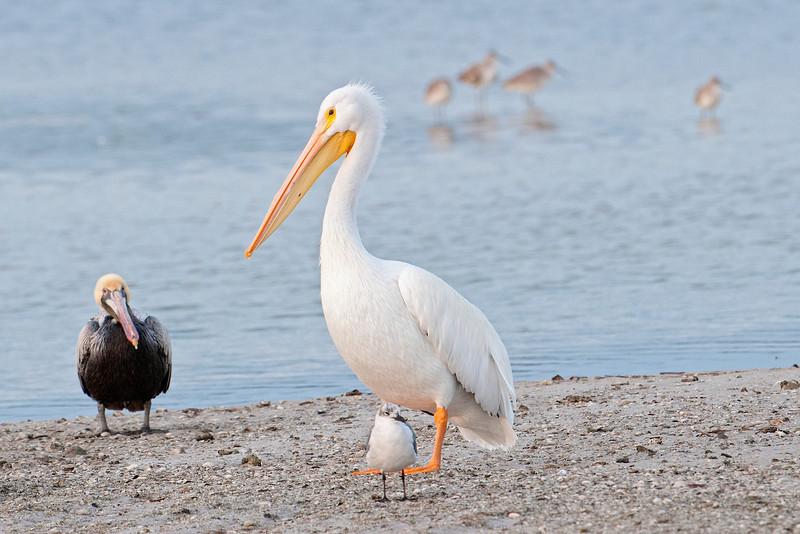 Pelican - American White - Ding Darling NWR - Sanibel, FL - 04