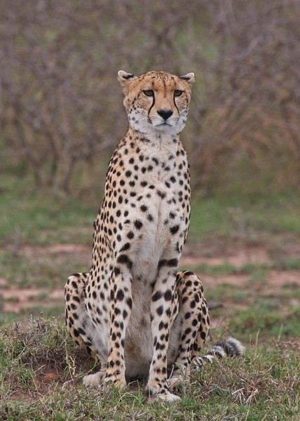 Cheetah, pregnant female, Naboisho Conservancy