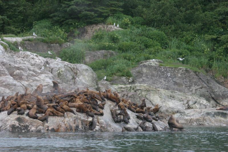 sea lions and kittiwakes