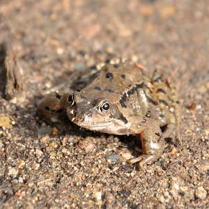 The Frogs of Merkland Wood.