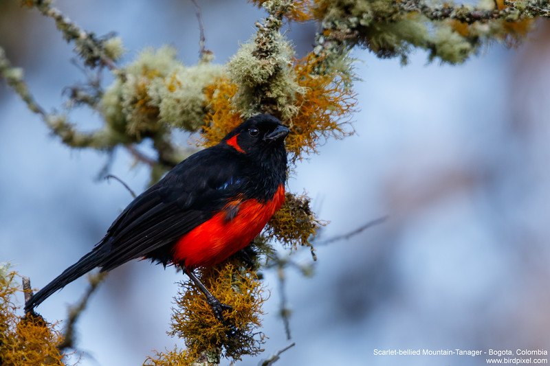 Scarlet-bellied Mountain-Tanager - Bogota, Colombia