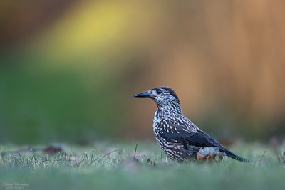 Crows / Kråkfåglar