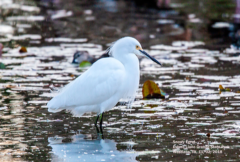 IMG_8852 3T Snowy Egret Estero Llano Grande State Park.jpg