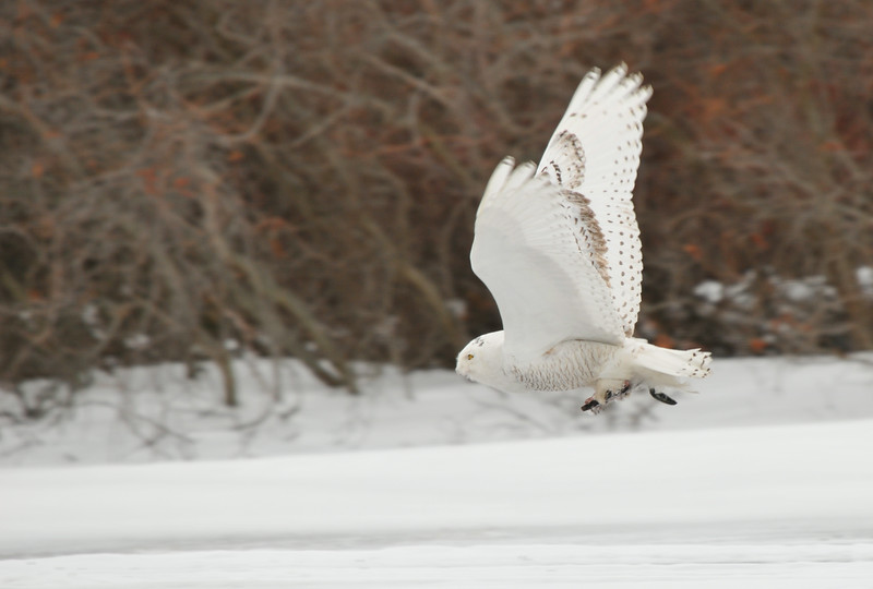 DSC_1957_snowy_owl_in_flight_lg.jpg