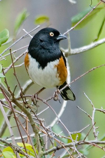 Towhee - Eastern - male - St. George Island State Park - FL - 01