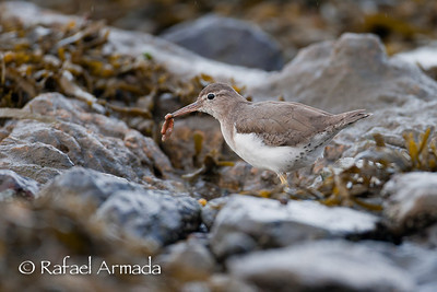 Spotted Sandpiper (Actitis macularius). Cariño (A Coruña), 03.2006
