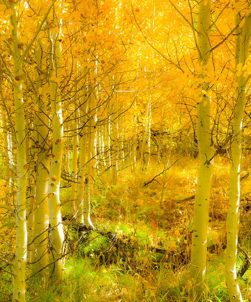 The light that filters through a thicket of aspen trees in the fall has to be experienced to be believed.
