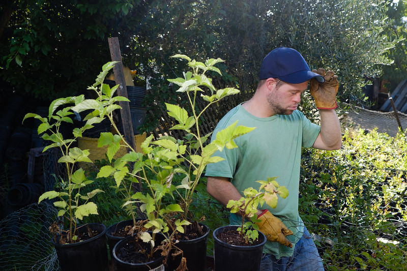 Gardener with Pots of Blueberry Seedlings