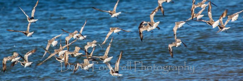 Common Gulls.jpg