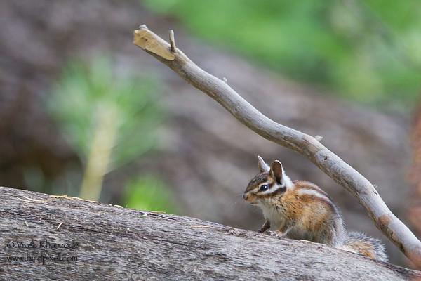 Lodgepole Chipmunk