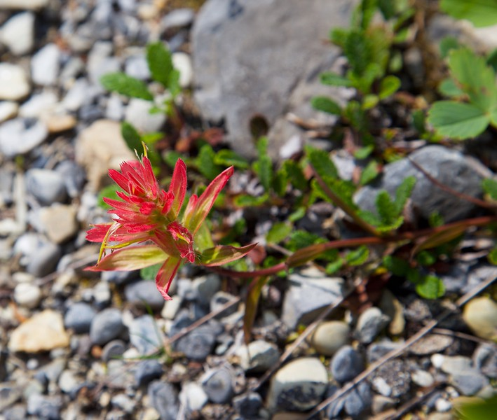 Indian Paint Brush Flower