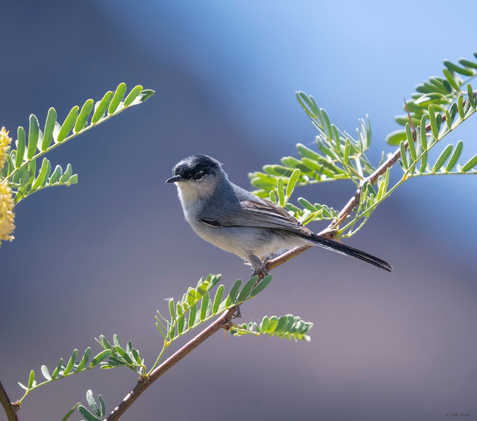 Black-tailed Gnatcatcher (adult)