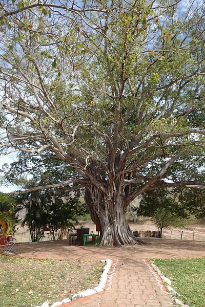 100+ year old Capuli tree at El Salto lodge.