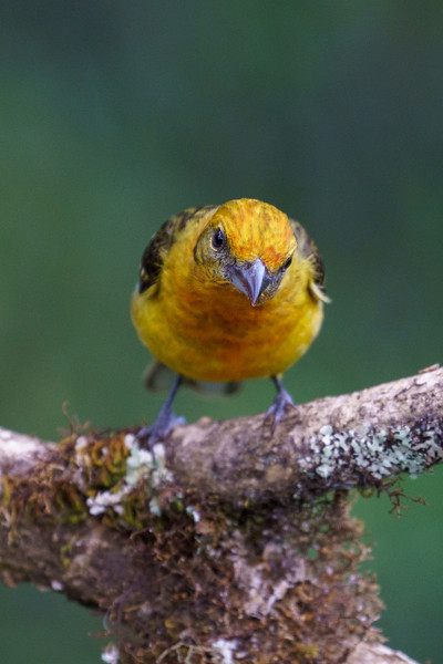 Flame-colored Tanager (Female)