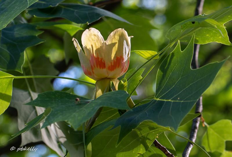 tulip tree flower 052718.jpg