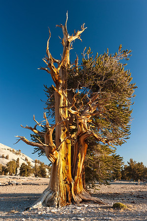 White Mountains - Bristlecone Pines