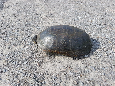 20170806 Blanding's Turtle