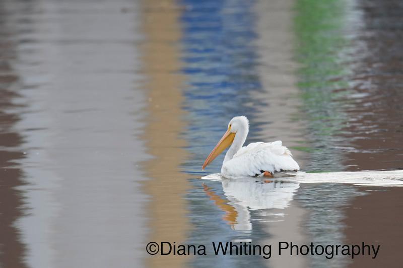 White Pelican Inner Harbor Onondaga Lake copy.jpg