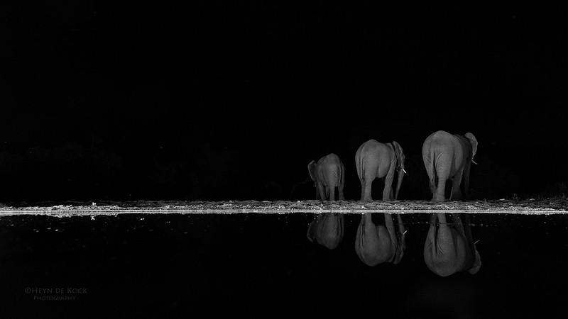 African Elephant, b&w, Zimanga, South Africa, May 2017-5.jpg