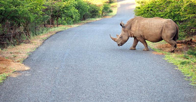 P5046271-rhino-crossing.JPG
