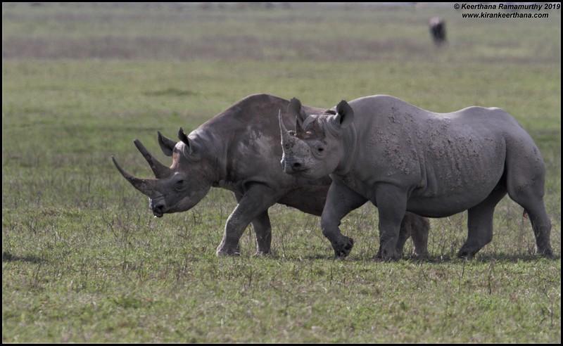 Southern Black Rhinoceros, Ngorongoro Crater, Ngorongoro Conservation Area, Tanzania, November 2019