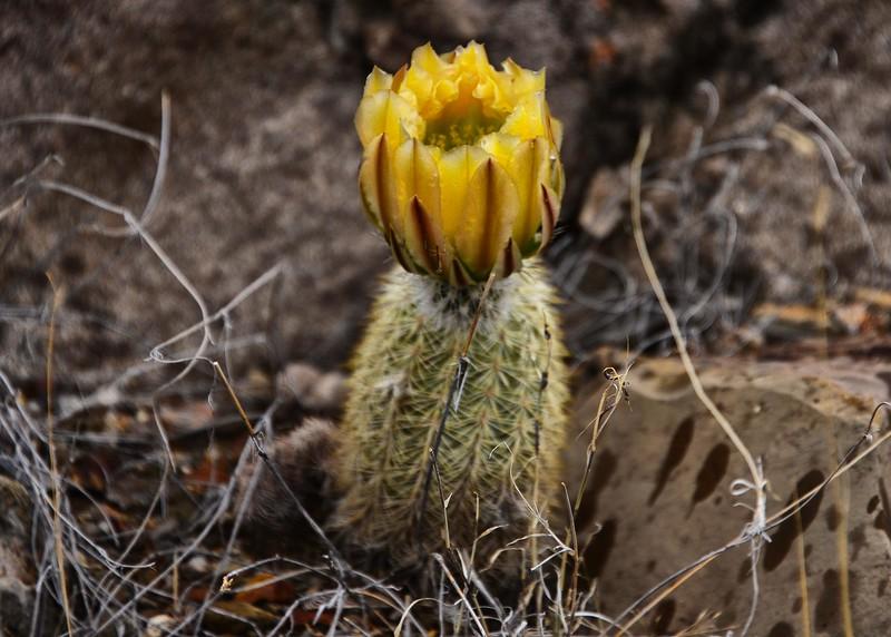 NEA_7224-7x5-Cactus Flower.jpg