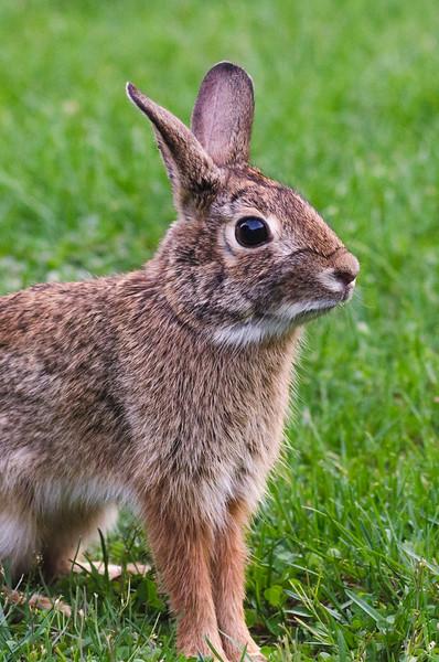 Rabbit Standing.jpg