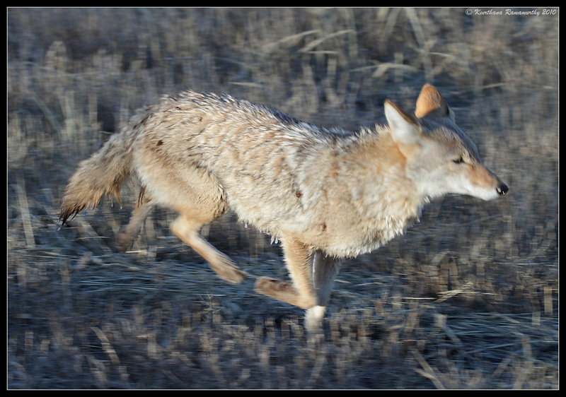 This coyote ran besides our car and caught us unprepared to photograph it at close range, Bosque Del Apache, Socorro, New Mexico, November 2010