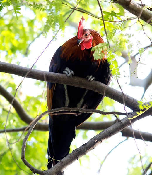 rooster in a tree