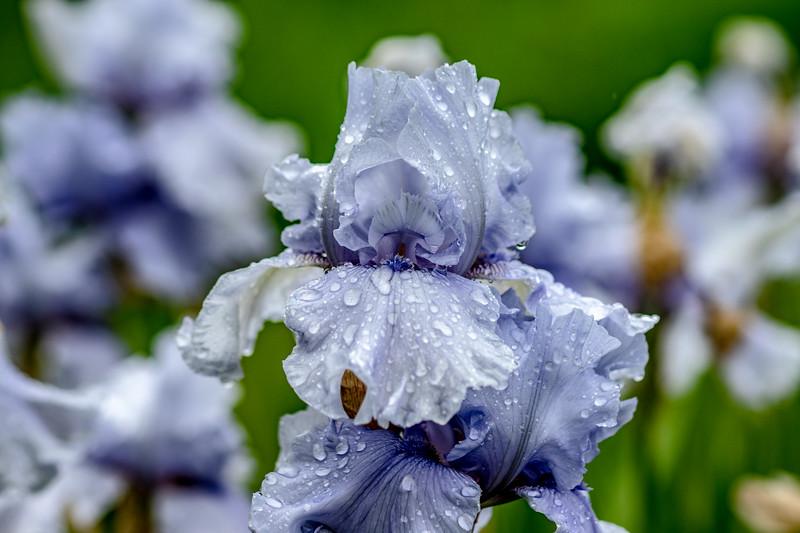 Arboretum Flower Iris-06470.JPG